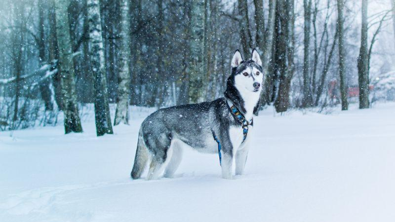 15 popular dog breeds that can handle cold weather