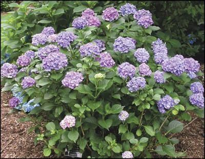 Hydrangeas: To bloom or not to bloom