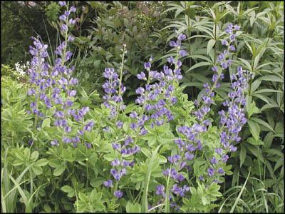 Try gardening beautiful blue Baptisia
