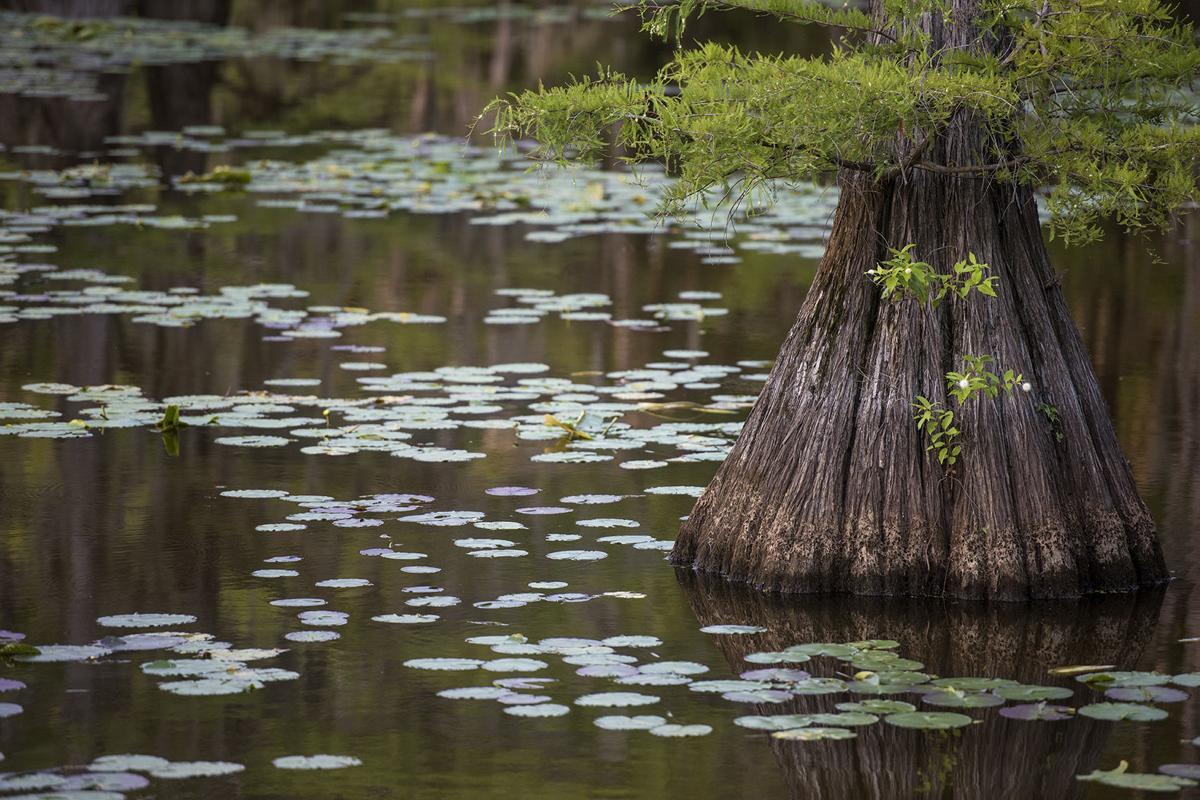 Exchange Caddo Lake Paddlefish