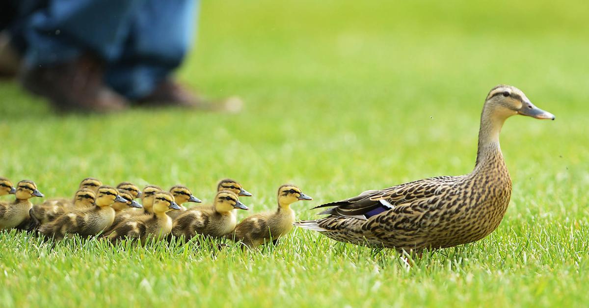 Baby Ducks | Photo Gal...