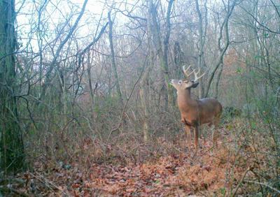 Deer in trail camera