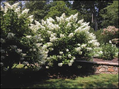 Hydrangeas: To prune or not to prune