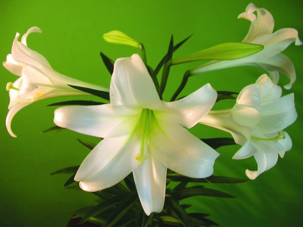 The Easter Lily Is The Seasons Symbol Of Hope Outdoors