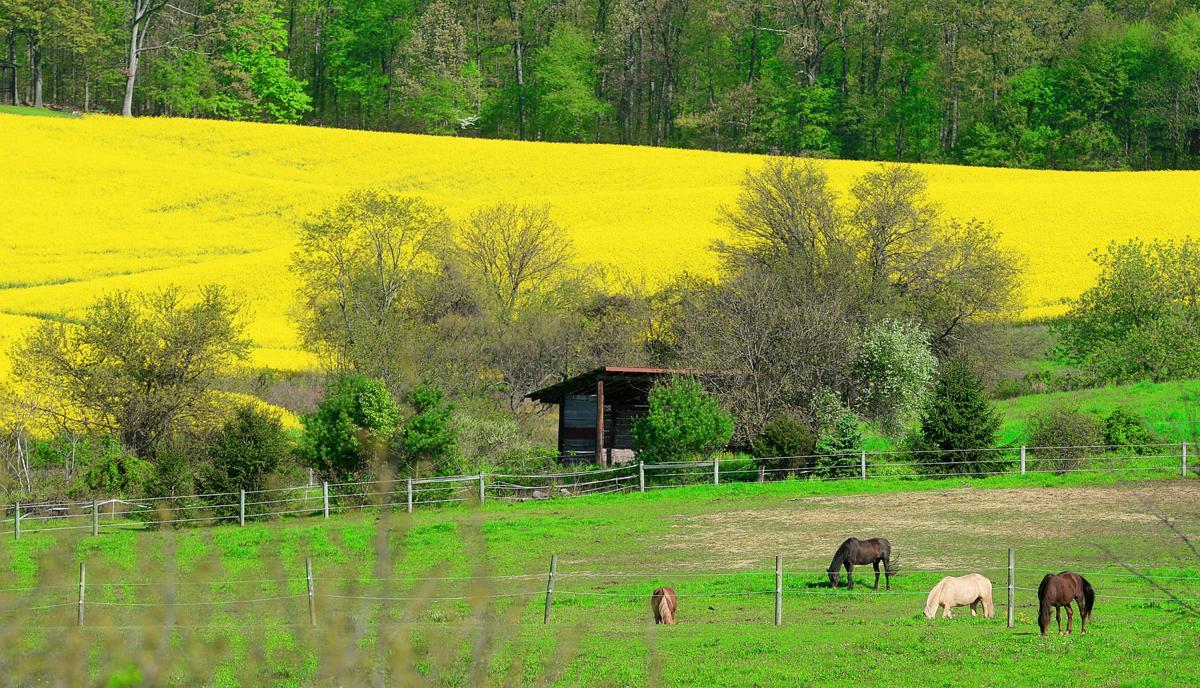 Askanswered fields of yellow flowers fill midstate ask answered askanswered fields of yellow flowers fill midstate mightylinksfo