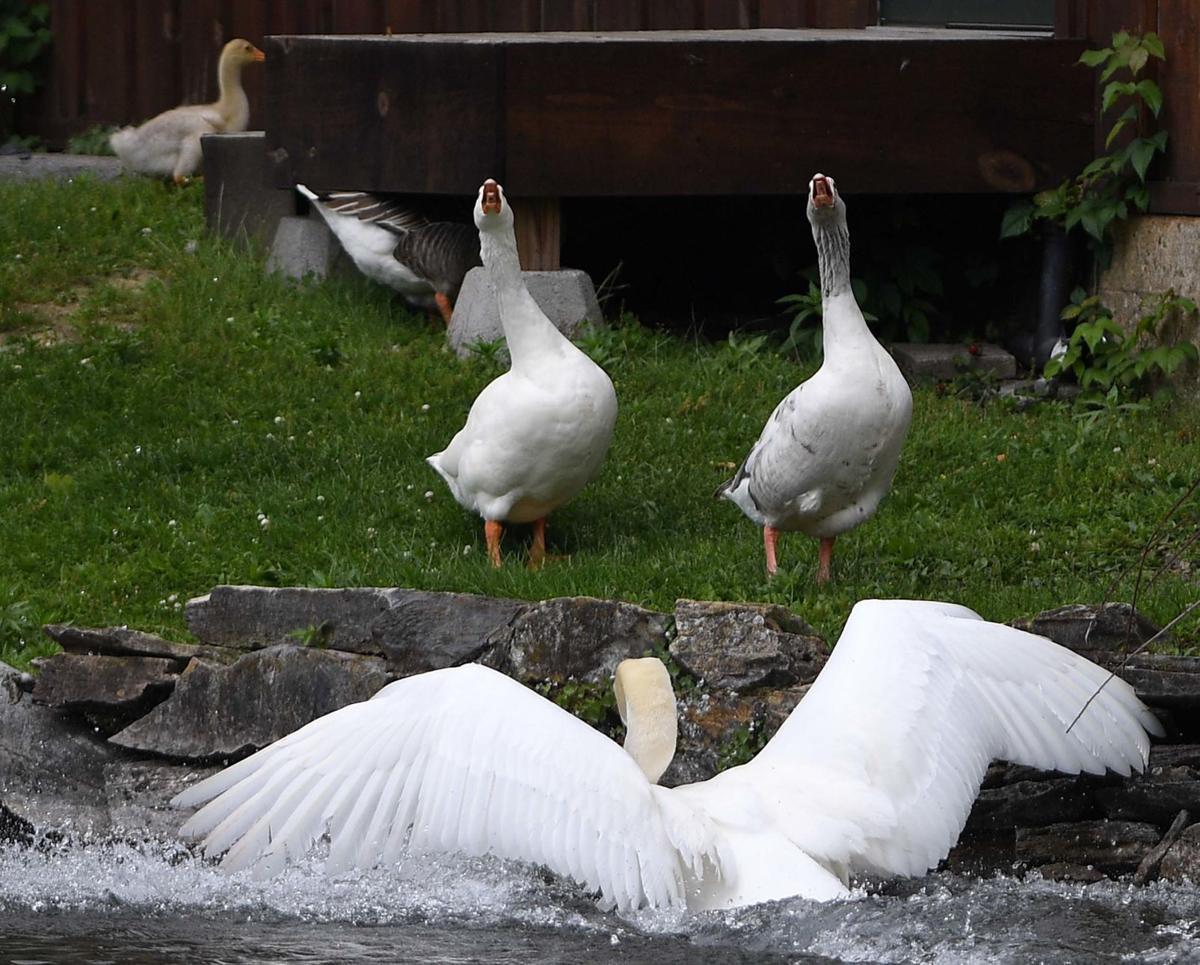 Boiling Springs Swan