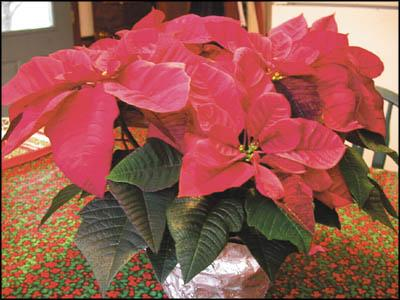 Holiday garden greens and reds
