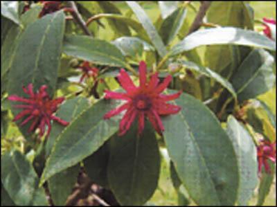 Gold medal plants
