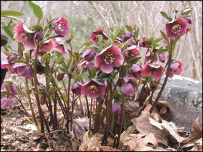Hellebores have it all