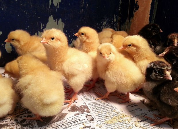 how to raise baby chickens after successful hatching outdoors