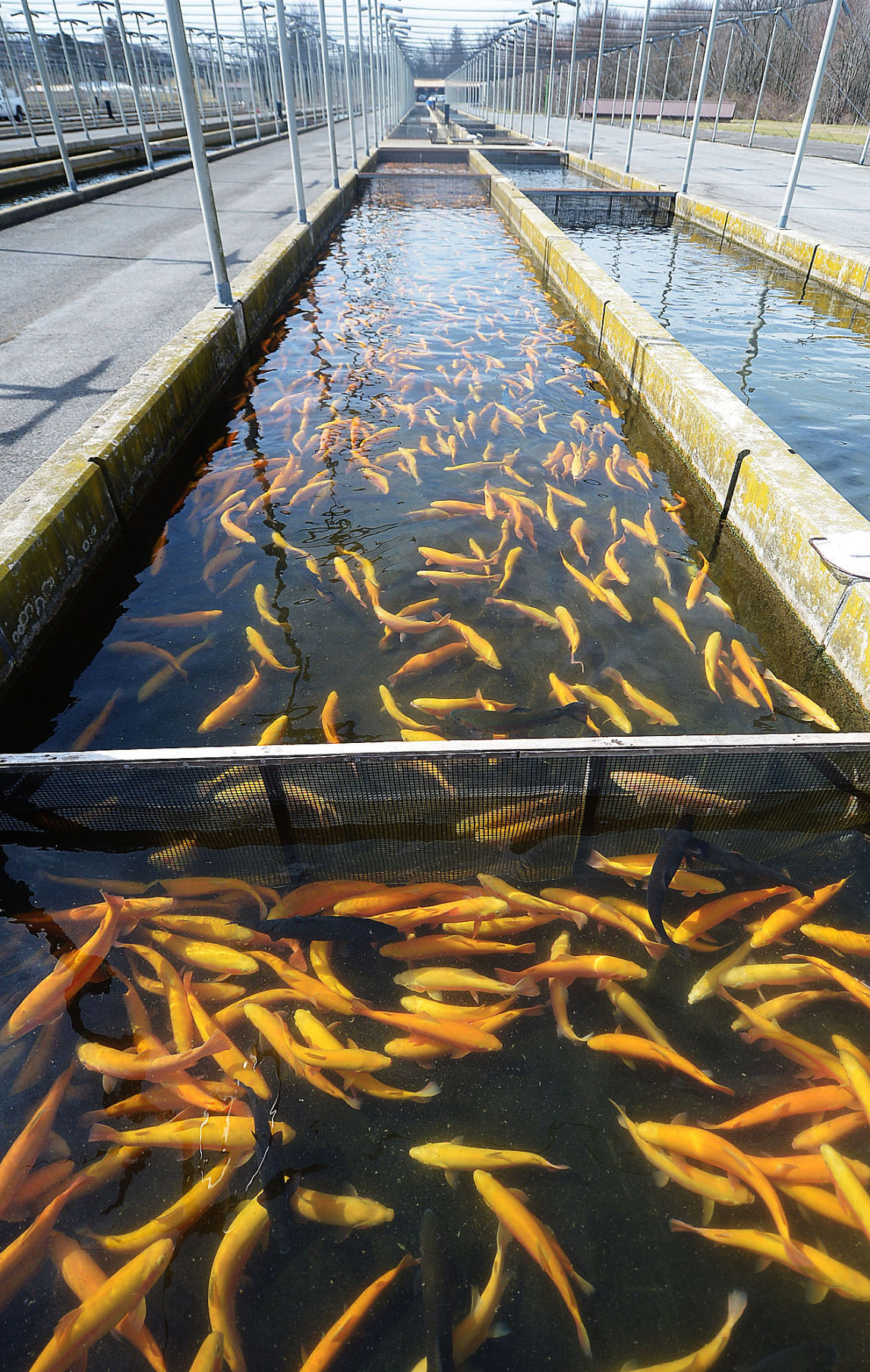 Hatchery has raising fish down to a science newville for Fish farm 3