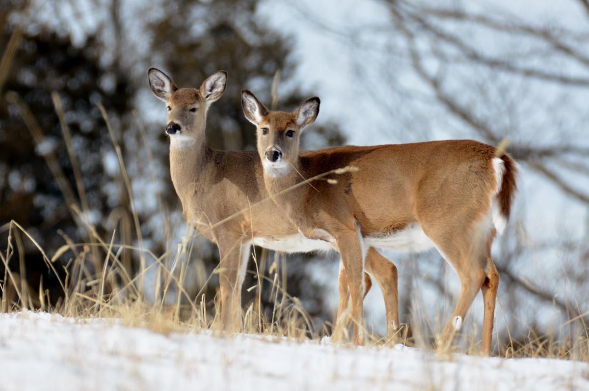 Deer in winter (copy)