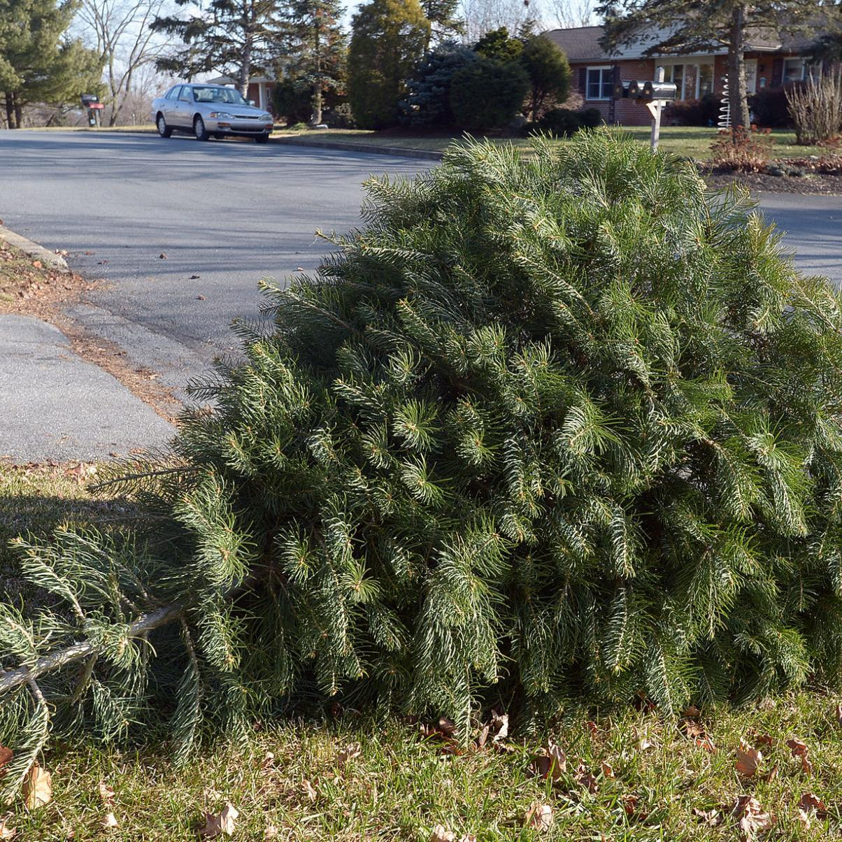 Christmas Tree Pick Up.Christmas Tree Pick Up Schedule Across The County The