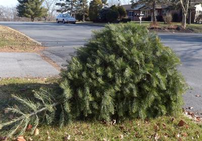 Christmas Tree Pick Up Schedule Across The County The Sentinel