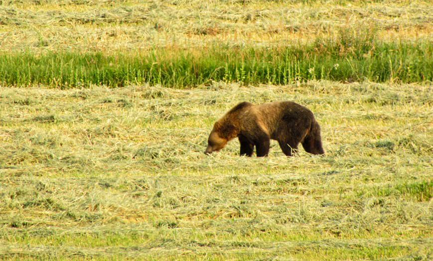 Grizzly bear sightings continue in Valier area