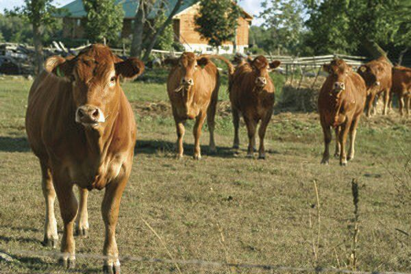 Growings On: Researchers turn to cattle to battle COVID-19