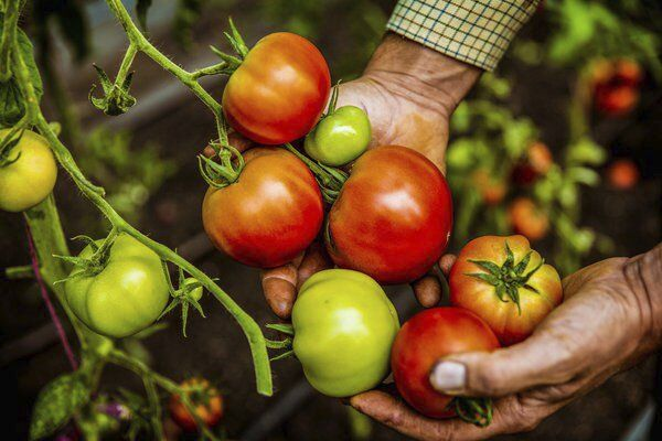 Roger Gates: Tips on growing tomatoes