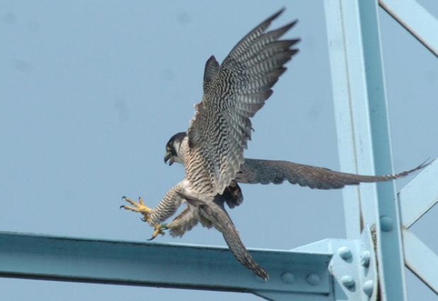 Bridge Home To Falcons For More Than A Decade News Dailyindependent Com