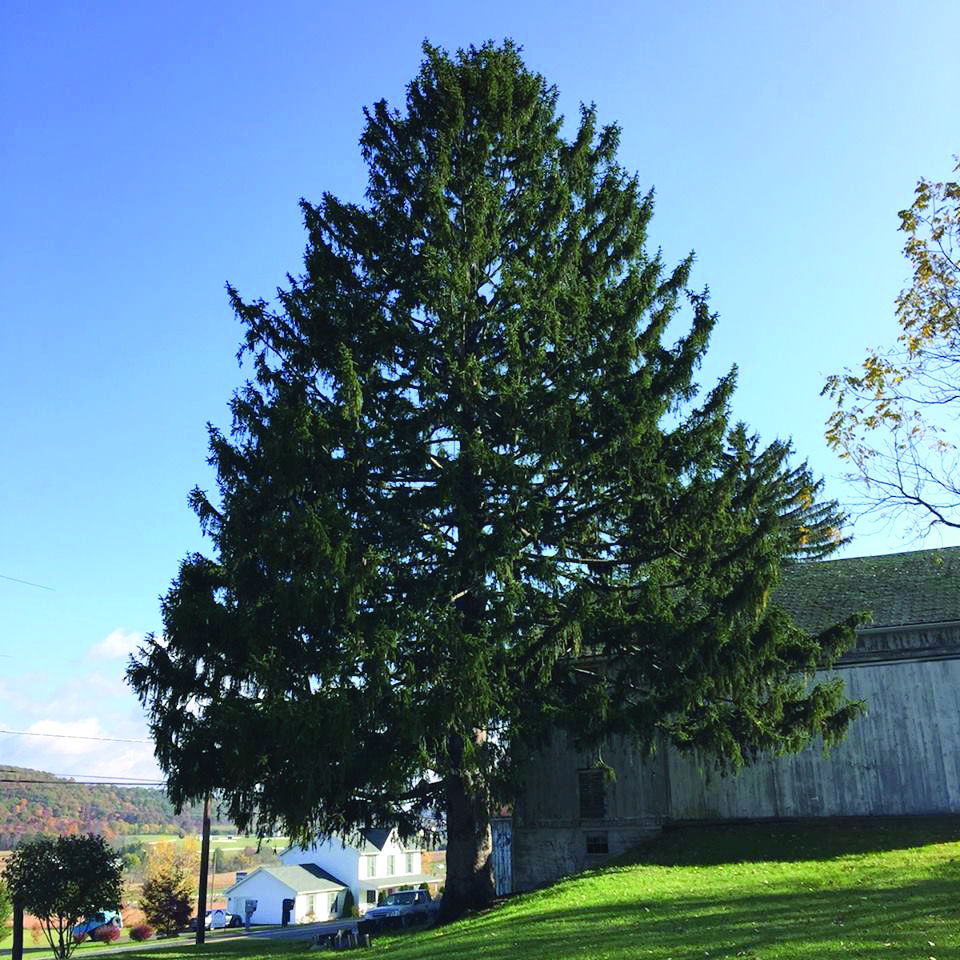 Columbia Christmas Tree: Buckhorn Tree To Spruce Up Rockefeller Center