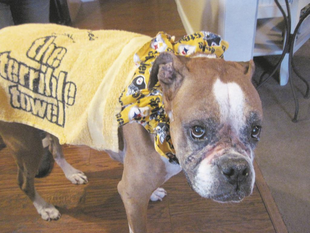 89df1645911 Prancer the boxer wears a Steelers collar and a