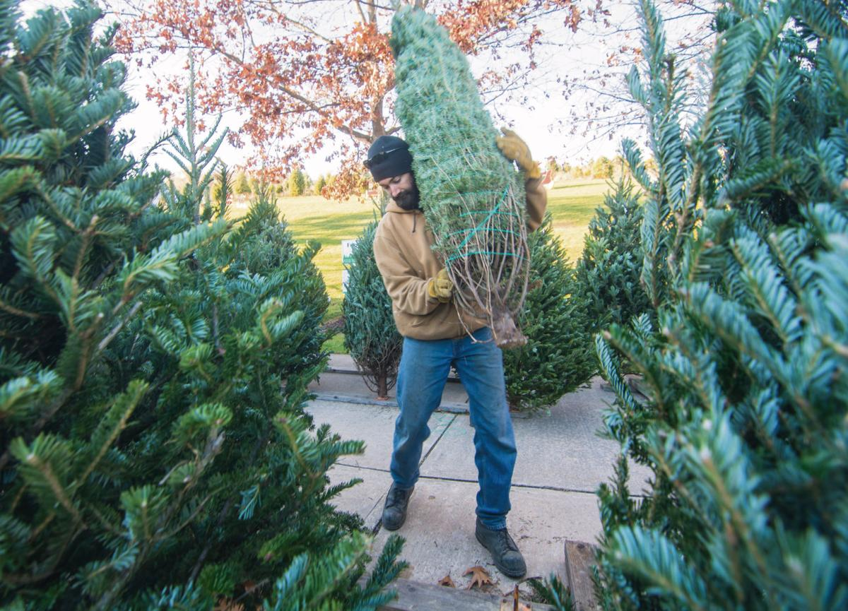 From Turkey To Tinsel: Tree Farms Get Ready For Christmas