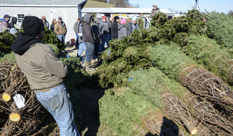 Firs Fly At Christmas Tree Auction
