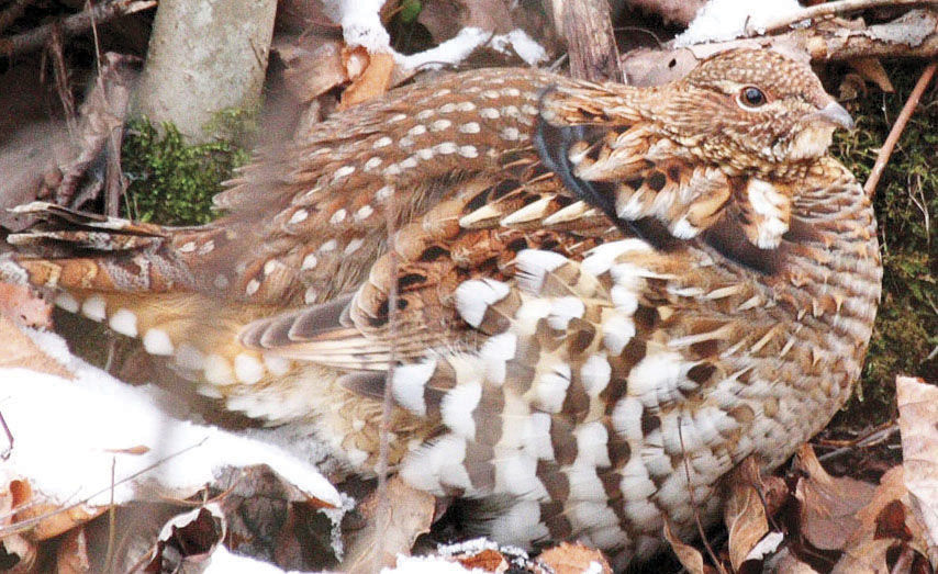audubon state bird may have to flee pa news