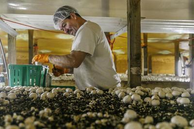 Pa. farmers face labor shortages