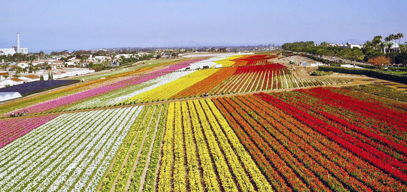 Carlsbad using flowers to hook more tourists into springtime stays