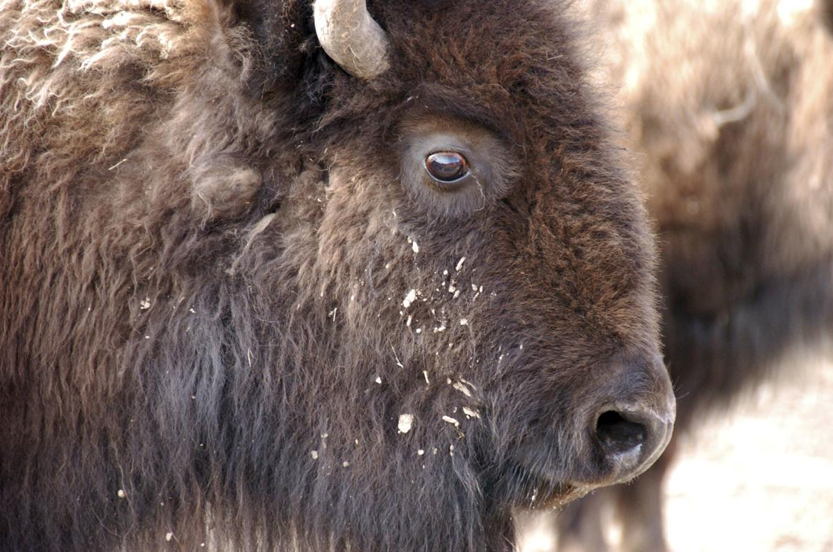 Yellowstone Bison Slaughter