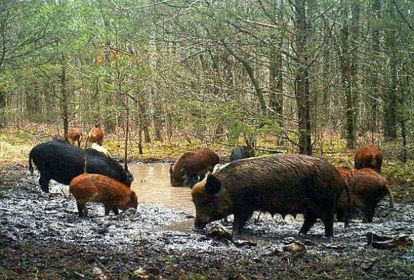 Ban on hunting feral hogs goes into effect Sept. 30