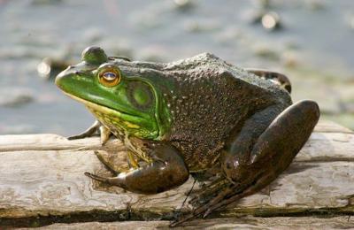 Getting a leg up on frog season