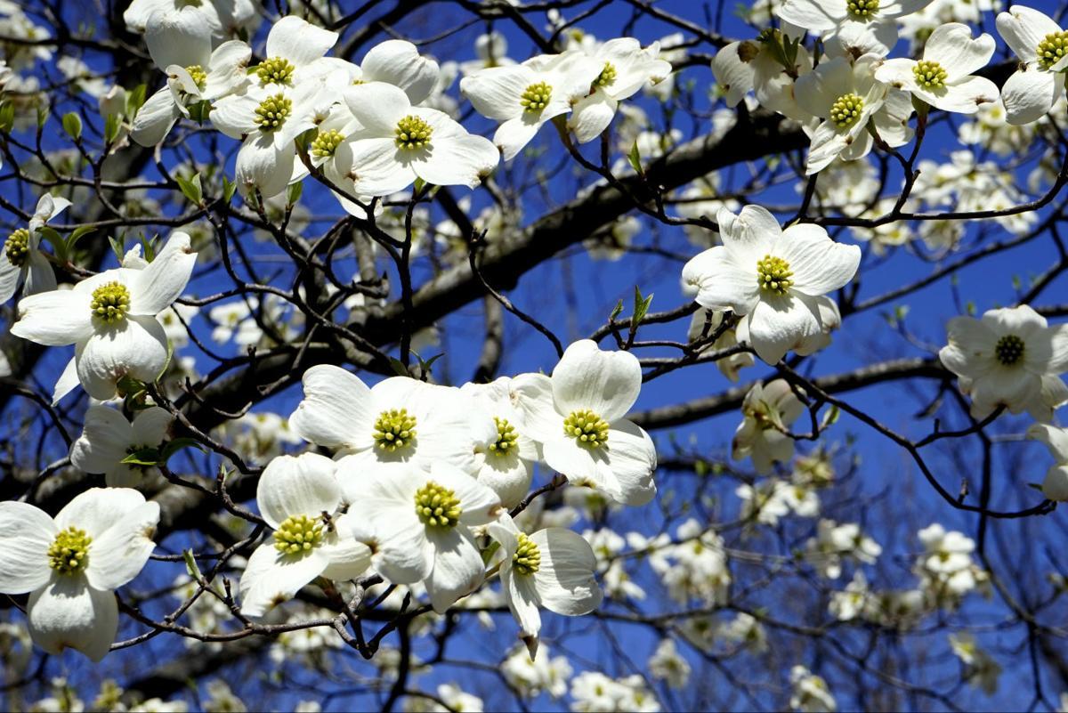 Missouris State Tree Is Blooming Dailyjournalonline