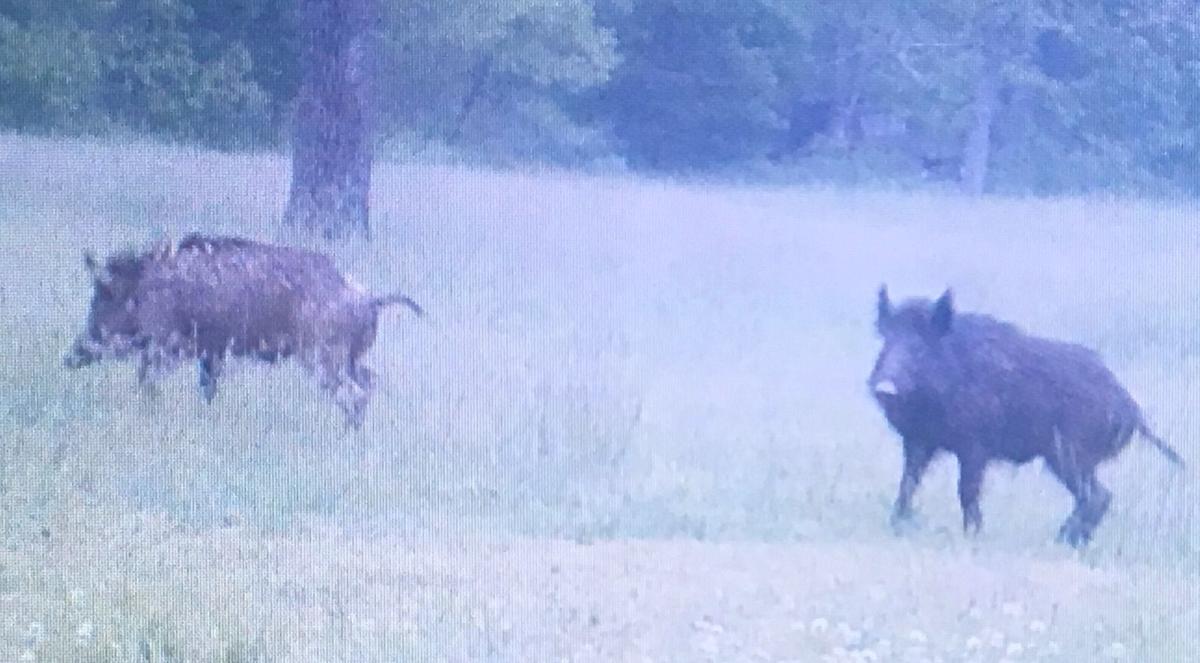 Feral hog hunting resolution