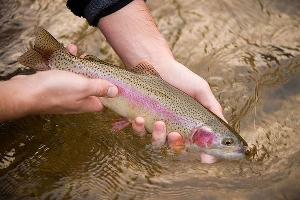 Trout harvest begins February 1