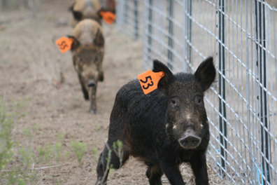 Illegal release, transport of feral hogs a problem