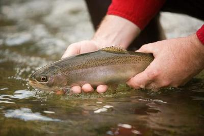 MDC to stock trout in Farmington
