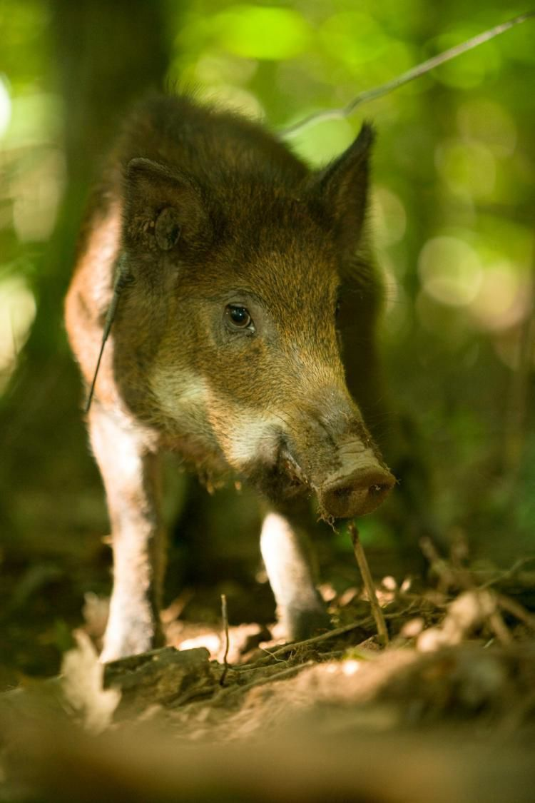 Plan seeks to step up feral hog trapping