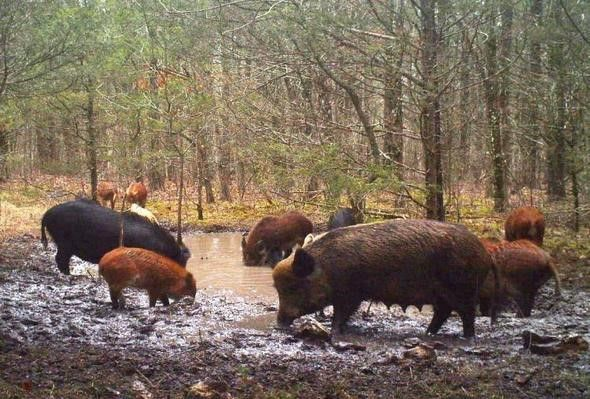 Destructive feral hogs