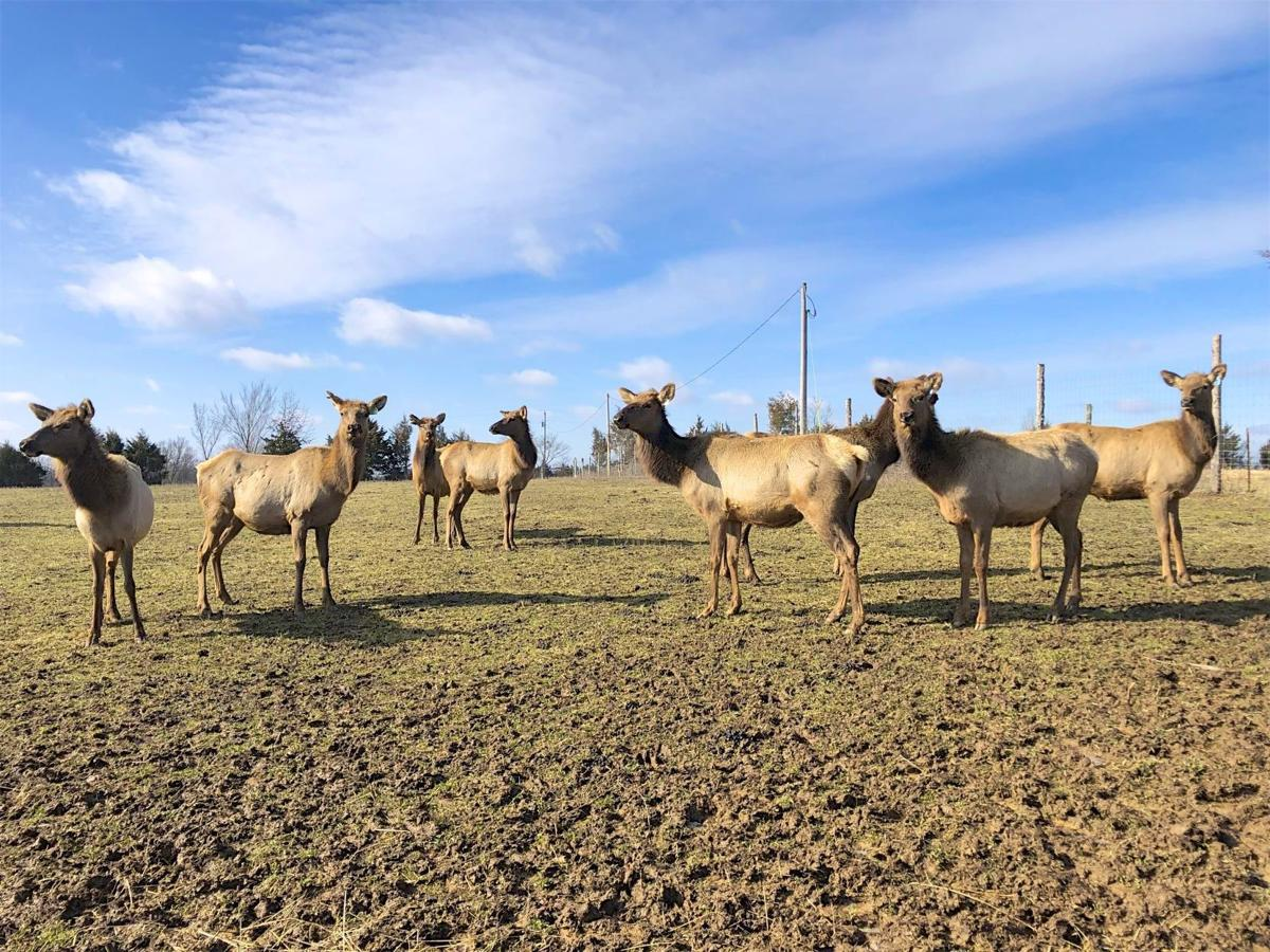 Local elk breeder's ranch thriving