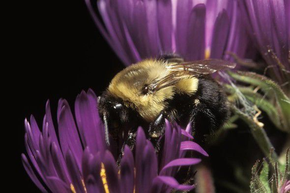 MDC invites people to learn about bumblebees at Aug. 1 online program