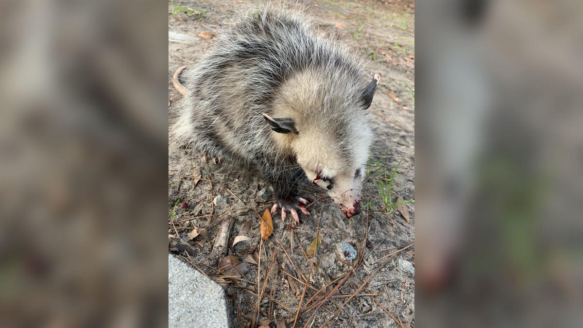 Opossum beaten