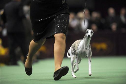 Whippet gets fast start at Westminster dog show