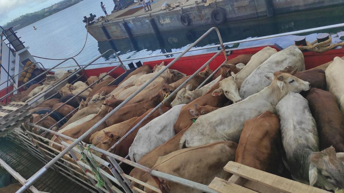 运送242头牛往埃龙曼戈