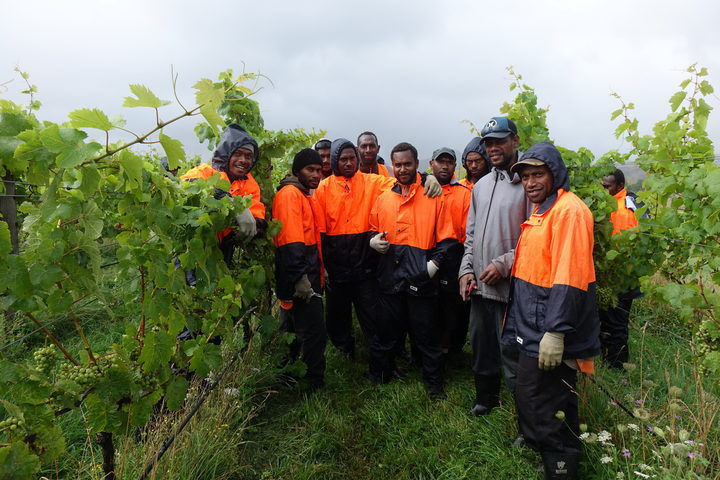 Grumblings on the grape vine: are seasonal workers treated well in NZ?
