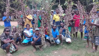 Free Kava Cuttings for over 200 North Pentecost Farmers