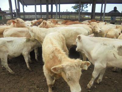 350名农民继续进行养牛计划