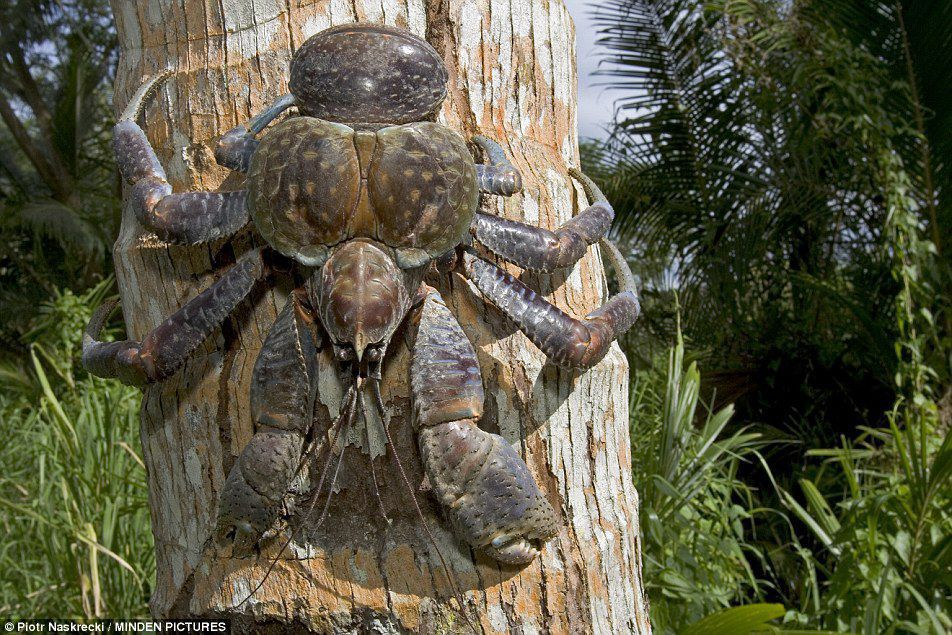 Torres coconut crabs confiscated