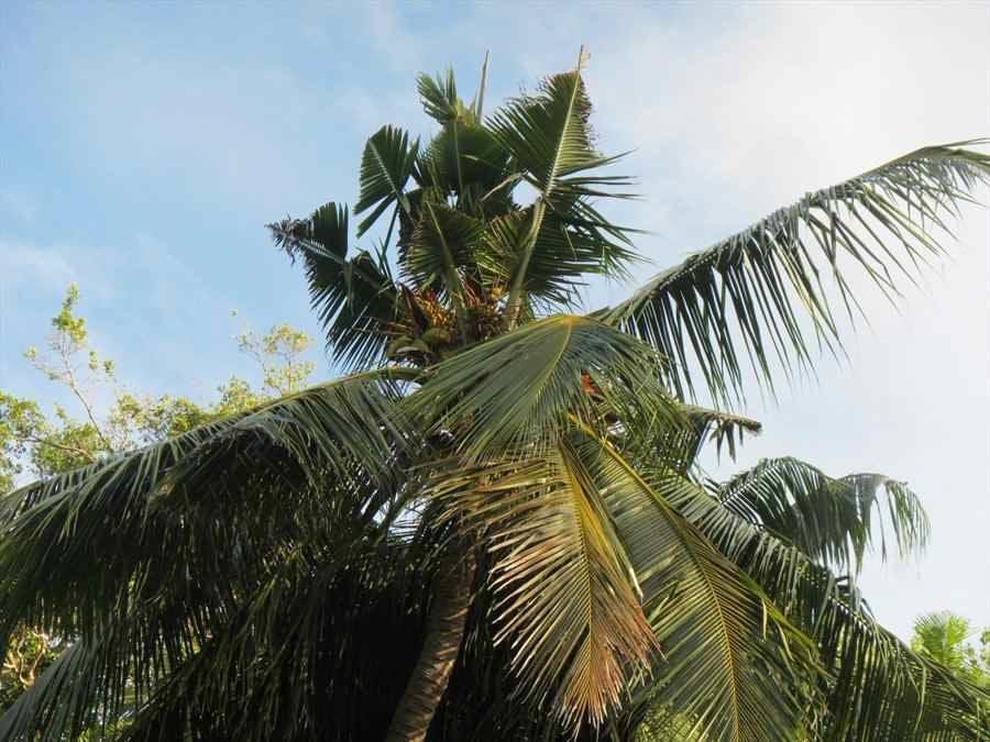 需要4000万瓦图去消灭椰子犀牛甲虫