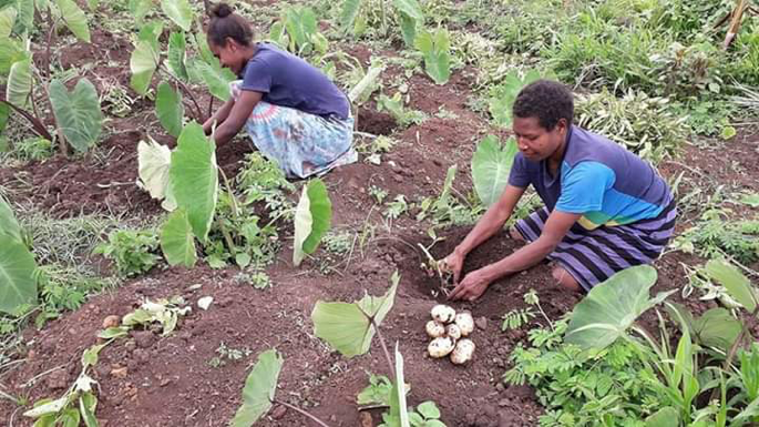 Potato Trial indicates potato can grow well in North Tanna